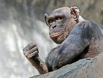 schimpanse Stockbild