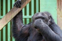 Schimpanse - afrikanischer Affe Stockbild
