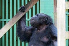 Schimpanse - afrikanischer Affe Stockfotos