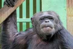 Schimpanse - afrikanischer Affe Lizenzfreie Stockfotos