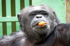 Schimpanse - afrikanischer Affe Lizenzfreie Stockbilder