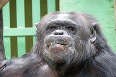 Schimpanse - afrikanischer Affe Stockfoto