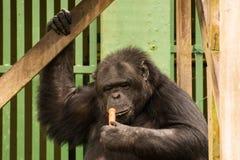 Schimpanse - afrikanischer Affe Lizenzfreies Stockfoto