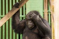 Schimpanse - afrikanischer Affe Lizenzfreie Stockfotografie