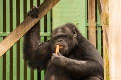 Schimpanse - afrikanischer Affe Stockbilder