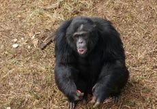 Schimpanse auf braunem grasartigem Boden Lizenzfreies Stockfoto