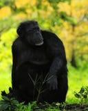Schimpanse auf dem Ausblick Stockbild