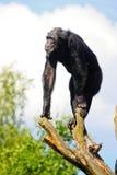 Schimpanse auf einem Baum Lizenzfreie Stockbilder