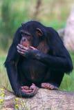 Schimpanse auf einem Baum Lizenzfreies Stockbild