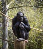 Schimpanse auf einer Stange Lizenzfreie Stockfotografie