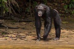 Schimpanse auf Flussstrand Stockfoto