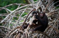 Schimpanse auf Mangrovezweigen. Stockfotos