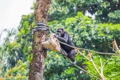 Schimpanse auf Seil mit Tasche in ihren Händen Lizenzfreies Stockfoto