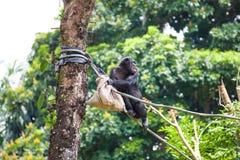 Schimpanse auf Seil mit Tasche in ihren Händen Stockbilder