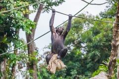 Schimpanse auf Seil mit Tasche in ihren Händen Stockfoto