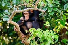 Schimpanse auf Wachaufgabe Stockbilder