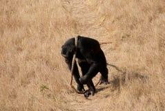 Schimpanse bei der Arbeit Stockfotos