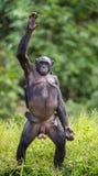 Schimpanse Bonobomutter mit dem Kind, das oben auf ihren Beinen und Hand steht Der Bonobo (Pan-paniscus) Lizenzfreies Stockfoto