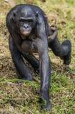 Schimpanse Bonobomutter mit einem Jungen Lizenzfreie Stockfotografie