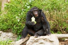 Schimpanse in chiangmai nightsafari chiangmai Thailand Lizenzfreie Stockbilder