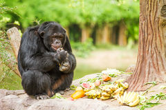 Schimpanse in chiangmai nightsafari chiangmai Thailand Lizenzfreie Stockfotos