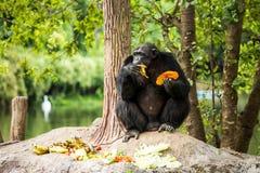 Schimpanse in chiangmai-nightsafari chiangmai Thailand Lizenzfreie Stockfotos