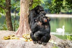 Schimpanse in chiangmai-nightsafari chiangmai Thailand Lizenzfreie Stockfotografie