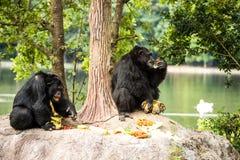 Schimpanse in chiangmai-nightsafari chiangmai Thailand Stockfoto