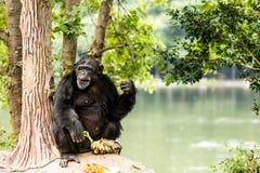 Schimpanse in chiangmai-nightsafari chiangmai Thailand Stockbilder
