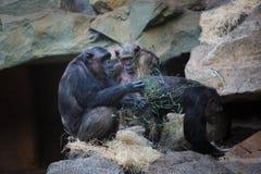 Schimpanse in den Bergen Lizenzfreie Stockbilder