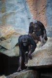 Schimpanse in den Bergen Stockfoto