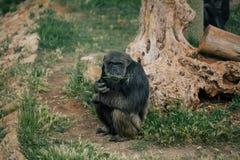 Schimpanse in den Safarizoowild lebenden tieren im Fasano-apulia Safarizoo Italien Lizenzfreie Stockfotografie