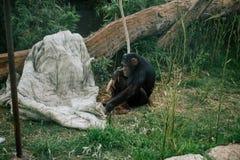 Schimpanse in den Safarizoowild lebenden tieren im Fasano-apulia Safarizoo Italien Lizenzfreie Stockfotos