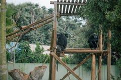 Schimpanse in den Safarizoowild lebenden tieren im Fasano-apulia Safarizoo Italien Stockbild