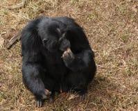 Schimpanse, der auf braunem grasartigem Boden sitzt Lizenzfreies Stockfoto