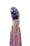 Schimpanse, der auf dem Baum lokalisiert sitzt Stockbild
