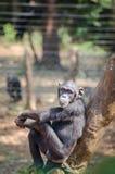 Schimpanse, der auf dem Baum schaut ruhig und entspannt, Sierra Leone, Afrika sitzt Stockbilder