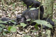 Schimpanse, der auf dem Boden, Nationalpark Kibale, Uganda faulenzt Lizenzfreie Stockfotografie