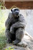 Schimpanse, der auf dem Felsen mit Chin Resting On Its Hand sitzt Stockbild