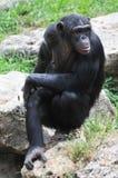 Schimpanse, der auf dem Stein sitzt Stockbild