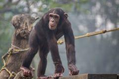 Schimpanse, der auf eine hölzerne Planke an einem Zoo geht Stockbilder