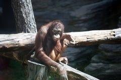 Schimpanse, der auf einem Baum sitzt Stockfotos