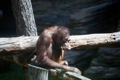 Schimpanse, der auf einem Baum sitzt Lizenzfreie Stockfotos