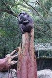Schimpanse, der auf einem Baum sitzt Lizenzfreies Stockbild