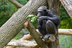 Schimpanse, der auf einem Baumstamm sitzt Stockfotos