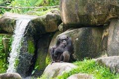 Schimpanse, der auf einem Felsen nahe einem Wasserfall sitzt Lizenzfreies Stockfoto