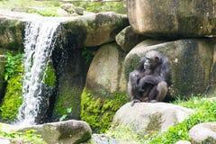 Schimpanse, der auf einem Felsen nahe einem Wasserfall sitzt Stockfotos