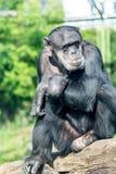Schimpanse, der auf einem Frieden des Holzes und des Denkens sitzt Lizenzfreie Stockfotografie