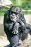 Schimpanse, der auf einem Frieden des Holzes und des Denkens sitzt Stockfotos