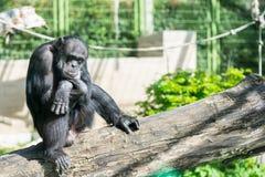 Schimpanse, der auf einem Frieden des Holzes und des Denkens sitzt Lizenzfreies Stockfoto